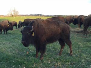 Modern Bison Industry - Red Frazier